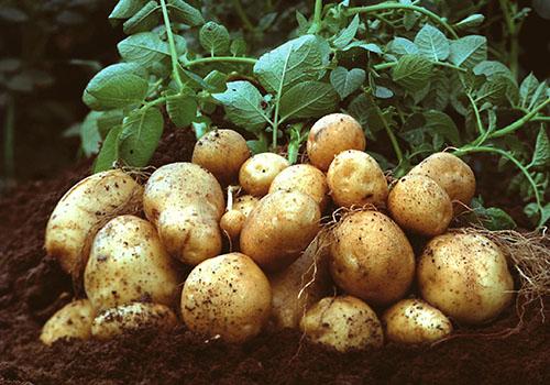 Amflora potatoes